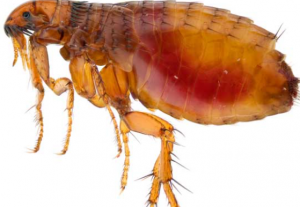 Fleas in Your Yard: How to Prevent an Infestation